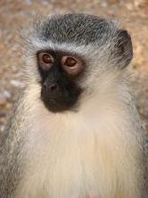 Vervet monkey - Kruger