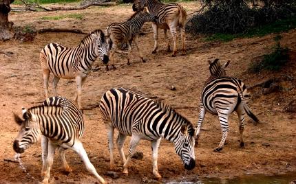 Zebras scattering - Mkuzi
