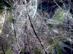 Spider's web - Sydney