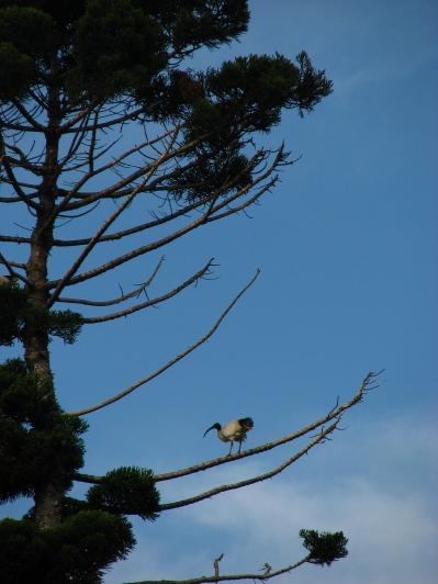 Sacred ibis - Sydney