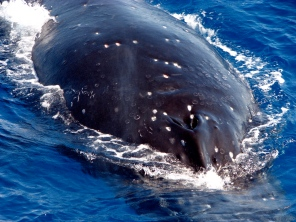 Humpback whale - off Fraser Island