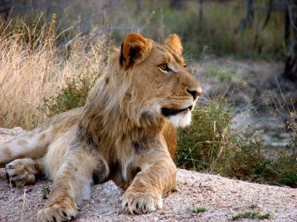Lion - Edeni