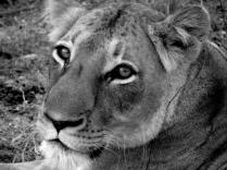 Lioness - Edeni