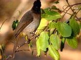 Black-capped bulbul - Kruger