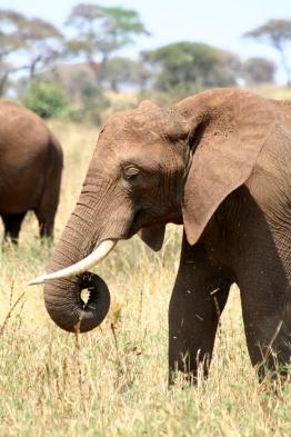 Elephants - Tarangire