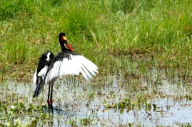 Saddle-billed stork - Tarangire