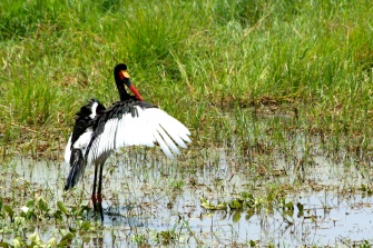 Saddle-billed stork - Tarangire