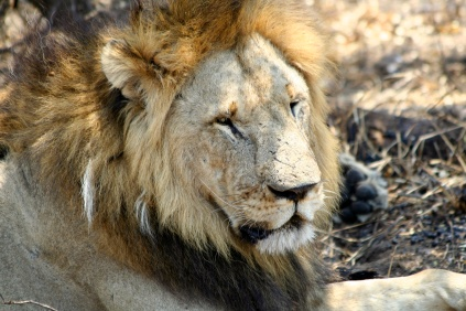 Lion - Tarangire