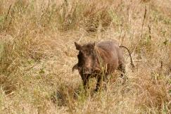 Warthog - Tarangire