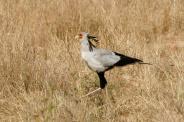 Secretary bird - Tarangire