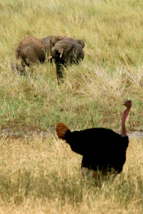 Ostrich and elephants - Tarangire