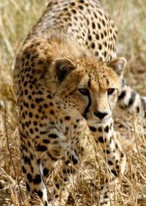 Cheetah stalking - Serengeti