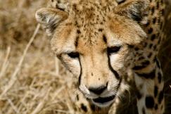 Cheetah - Serengeti