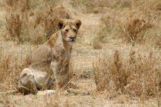 Lion hunting - Serengeti