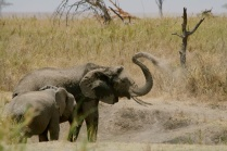 Elephant cooling off - Serengeti