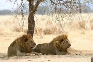 Lions resting - Tarangire