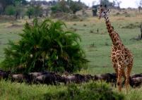 Giraffe & wildebeest - Serengeti