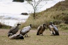 White-backed vultures - Mara River