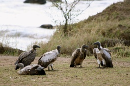 White-backed vultures - Mara River
