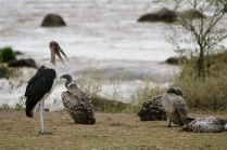 Marabou stork & white-backed vultures - Mara River