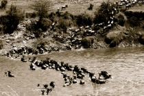 Wildebeest crossing - Mara River
