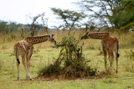 Giraffes - Serengeti