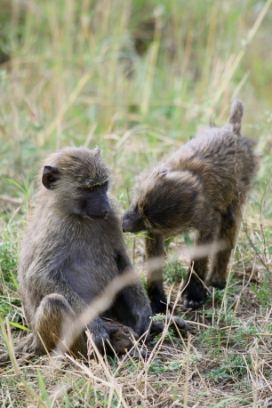 Young baboons - Serengeti