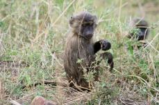 Young baboon - Serengeti