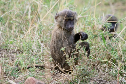 Young baboon - Serengeti