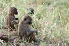 Baboons - Serengeti
