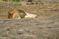 Lion sleeping - Serengeti