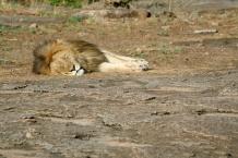 Lion sleeping - Serengeti