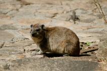 Rock hyrax - Serengeti
