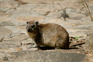 Rock hyrax - Serengeti