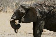 Elephant eating - Serengeti