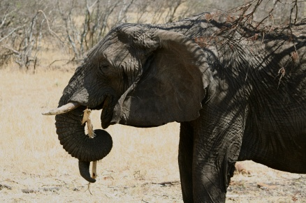 Elephant eating - Serengeti