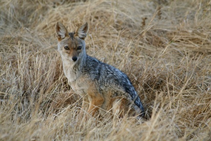 Silver-backed jackal - Ngorongoro