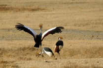 Great crested cranes - Ngorongoro