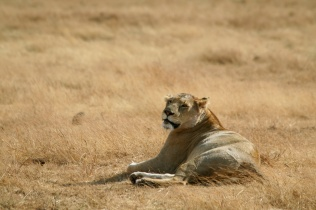 Lion - Ngorongoro