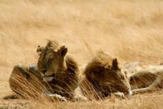 Lions - Ngorongoro