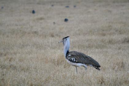 Kori bustard - Ngorongoro