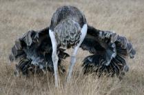 Ostrich - Ngorongoro