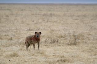 Hyena after eating - Ngorongoro