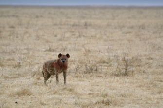 Hyena after eating - Ngorongoro