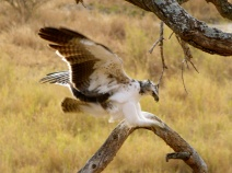 Augur buzzard - Serengeti
