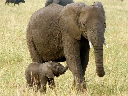 Elephant calf with mother - Serengeti