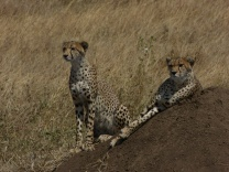 Cheetah brothers - Serengeti