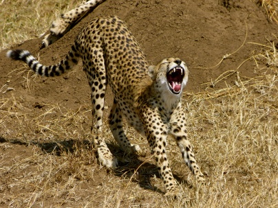 Cheetah yawning - Serengeti