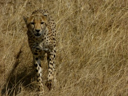Cheetah stalking - Serengeti