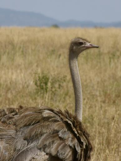 Ostrich - Serengeti